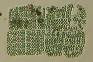Josh's microlife - Bacteria